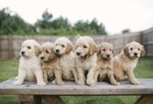 Photo of 6 Reasons Why Goldendoodles are Ideal Family Dogs